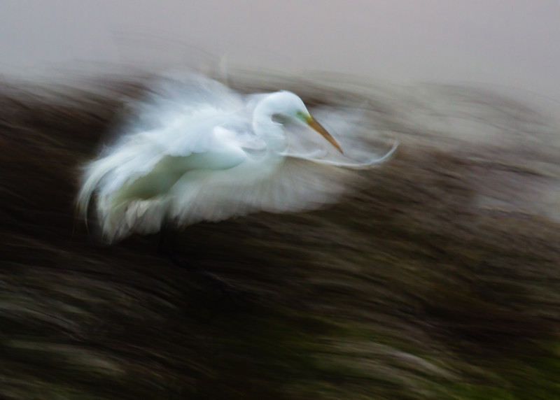 Great Egret at High Island rookery with 1/6 sec shutter speed