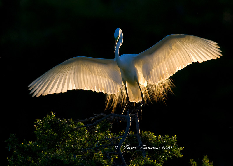 Great Egret back-lit with morning sun at High Island rookery
