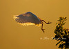 Cattle Egret with a behind the wing silhouette from High Island rookery