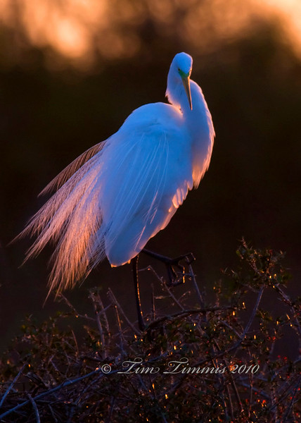Great egret in morning light at the High Island rookery