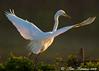 Great egret in morning light
