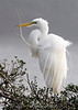 Great Egret in the fog at High Island rookery.  This photo won the grand prize at the 2008 FeatherFest photo contest in Galveston, TX.
