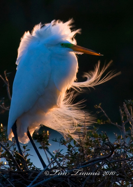 Great egret blowing in the wind