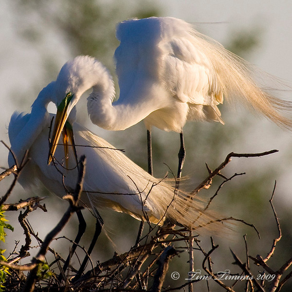 Nest building by great egrets