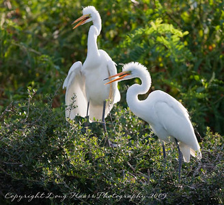 Young Great White Egrets