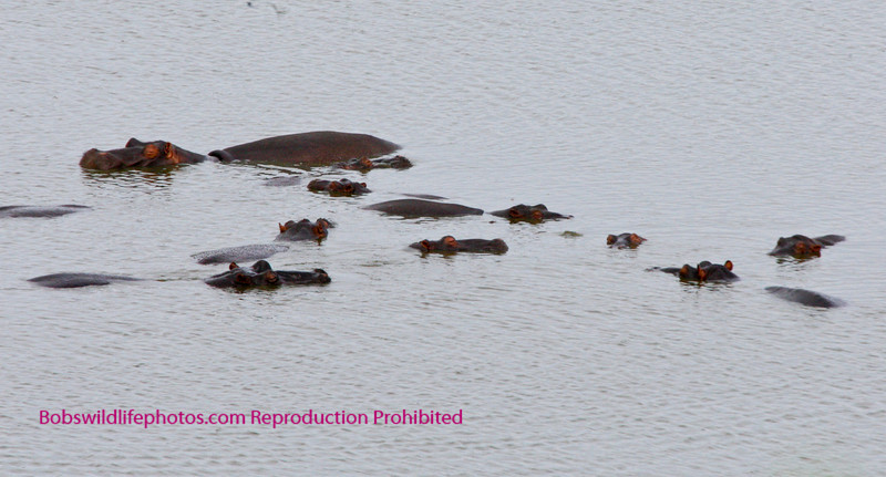 A large group of hippos near Lower Sabie