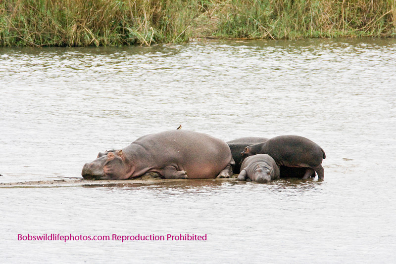 These hippos are on a very small island in the sabi river. Kruger Park