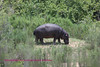 This hippo was just out of the water of the Sabie River a couple of miles from the Lower Sabie rest camp. Grazing in the daylight is  not a common occurrence.