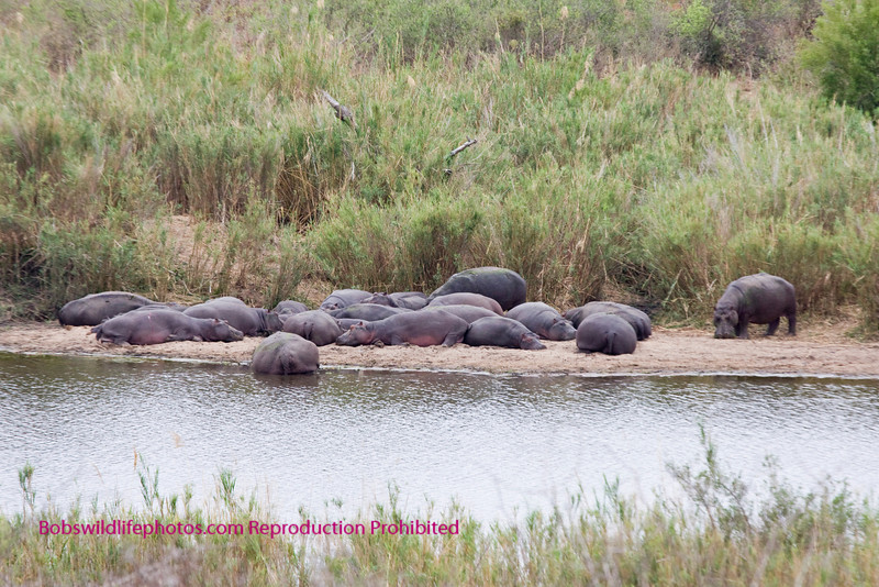Large group of Hippos on the side of the Sabie River. Kruger Park
