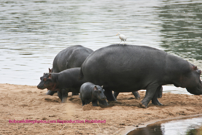 This group was seen from the restaruant at lower Sabie. Kruger Park.
