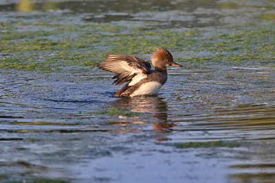 A Hooded Merganser