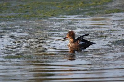 A Female Hooded Merganser
