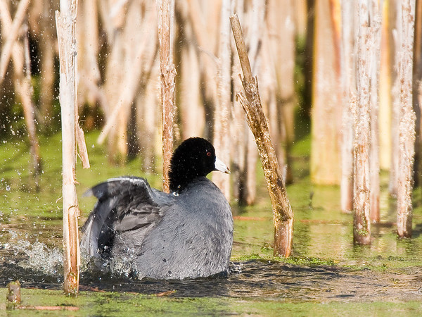 American Coot - Horicon Marsh, WI