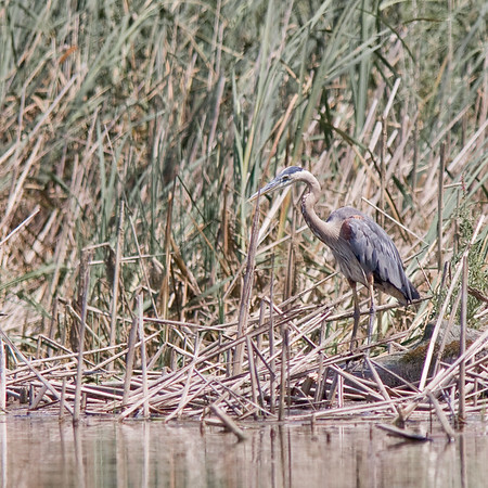 Great Blue Heron in Marsh - Horicon Marsh, WI