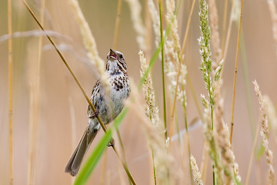 Calling Song Sparrow - Horicon Marsh, WI