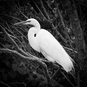 Great Egret Portrait in (Monochrome) - Horicon Marsh, WI