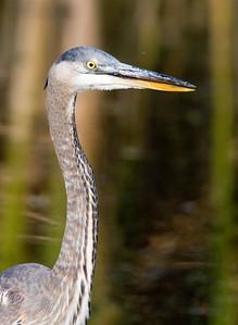 Great Blue Heron - Head Potrait - Horicon Marsh, WI