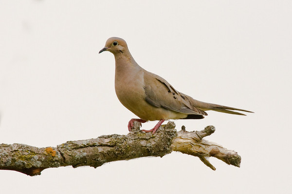 Mourning Dove - Horicon Marsh, WI