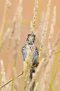 Song Sparrow - Horicon Marsh, WI