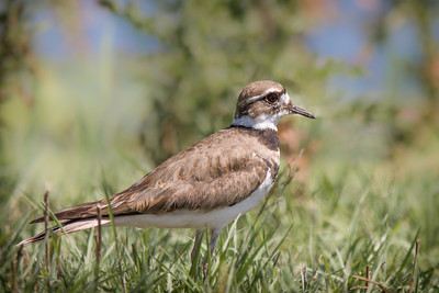 Killdeer - Horicon Marsh, WI