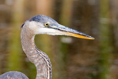 Great Blue Heron - Head Potrait - Horicon Marsh, WI