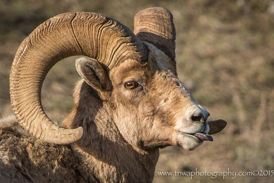 Built Ram Silly Bighorn Sheep Ram Grand Teton National Park, Wyoming © 2015