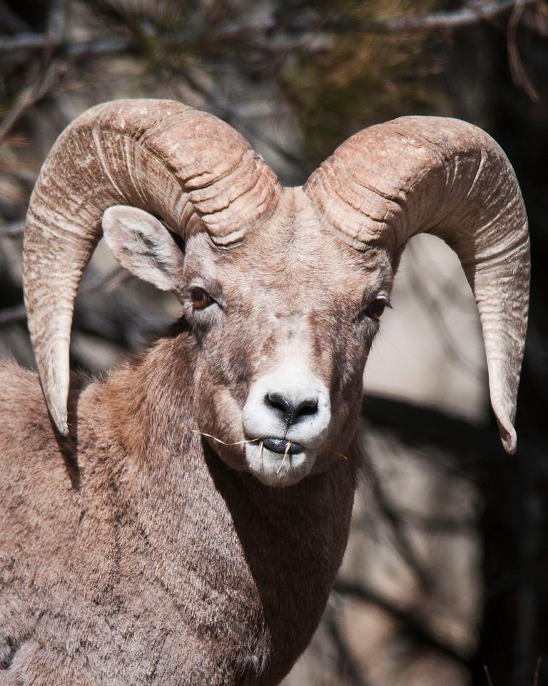 Curious Bighorn Sheep Ram Big Thompson Canyon Estes Park, Colorado © 2011