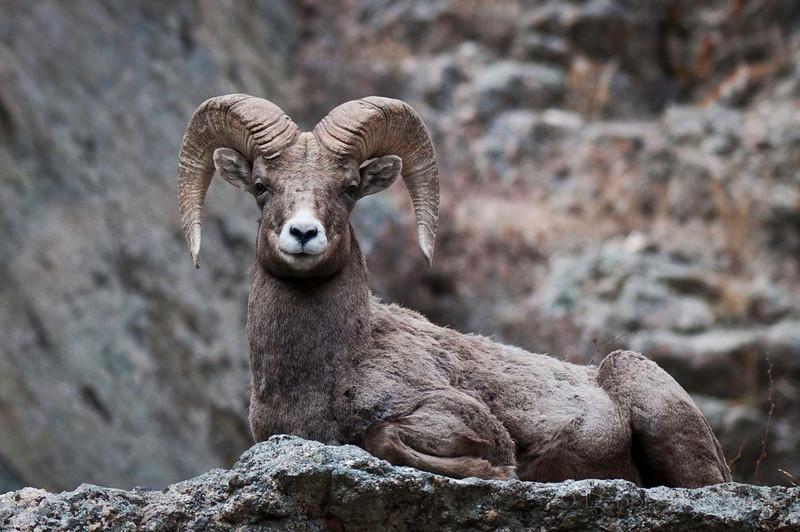 Bighorn Sheep Big Thompson Canyon Colorado © 2011