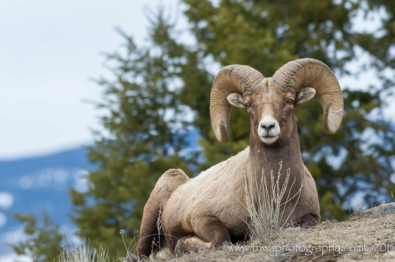 Bighorn sheep ram takes a break Yellowstone National Park Wyoming © 2015  TNWA Photography / Debbie Tubridy