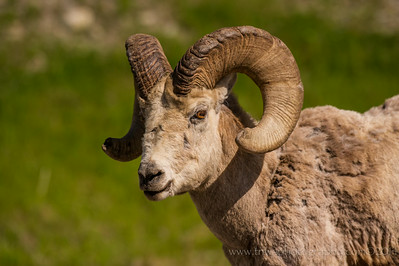 Bighorn Sheep Ram Banff National Park Alberta, Canada © 2014