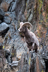 Bighorn Sheep Big Thompson Canyon Colorado © 2011