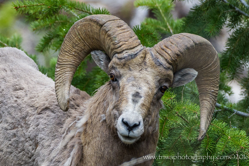 Close Up of the Bighorn Sheep