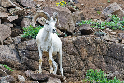 Dall Sheep Posing Denali National Park  Alaska © 2011