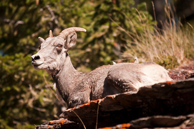 Chilling Bighorn Sheep Ewe Red Rocks Canyon, Waterton Lakes National Park, Alberta, Canada © 2011