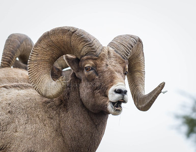 Bighorn sheep ram gives the look Yellowstone National Park Wyoming © 2015  TNWA Photography / Debbie Tubridy