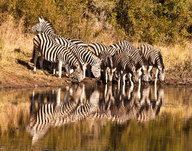 Zebras drinking late in day.