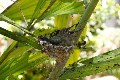 Anna's Humming bird juveniles just before departing the nest.  This nest was in a potted palm tree  (Caryota no) destined to move to the new garden.... good thing they flew before I had to move the plant!