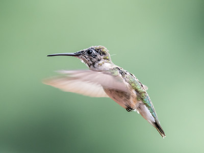 Hummingbird 14 Aug 2018-3535