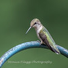 Hummingbird Aug 2018-3448