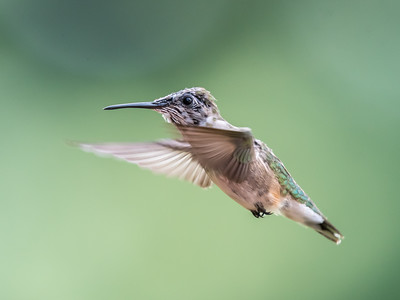 Hummingbird 14 Aug 2018-3587