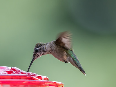 Hummingbird 14 Aug 2018-3506