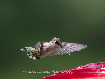 Hummingbird Aug 2018-3468