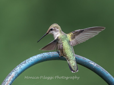 Hummingbird Aug 2018-3449