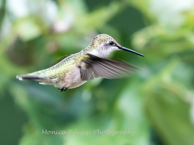 Hummingbird Aug 2018-3461