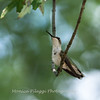 Hummingbird Aug 2018-3467