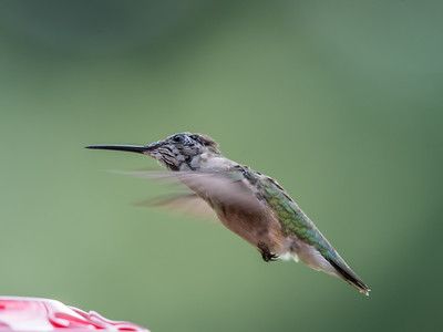 Hummingbird 14 Aug 2018-3583