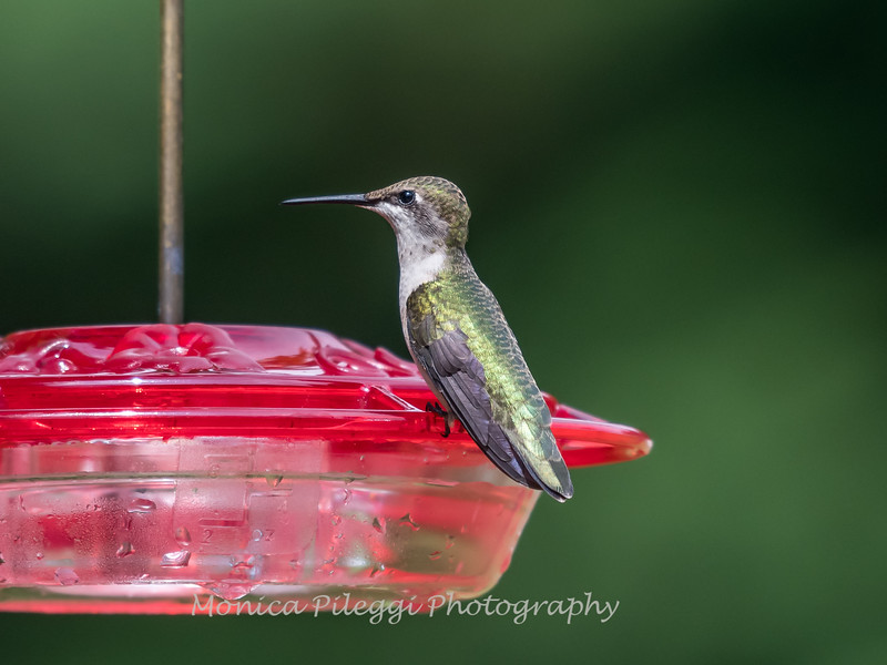 Hummingbird Aug 2018-3425
