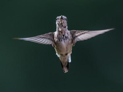 Hummingbird 14 Aug 2018-3642