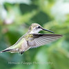 Hummingbird Aug 2018-3463