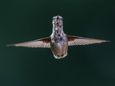 Hummingbird 14 Aug 2018-3641